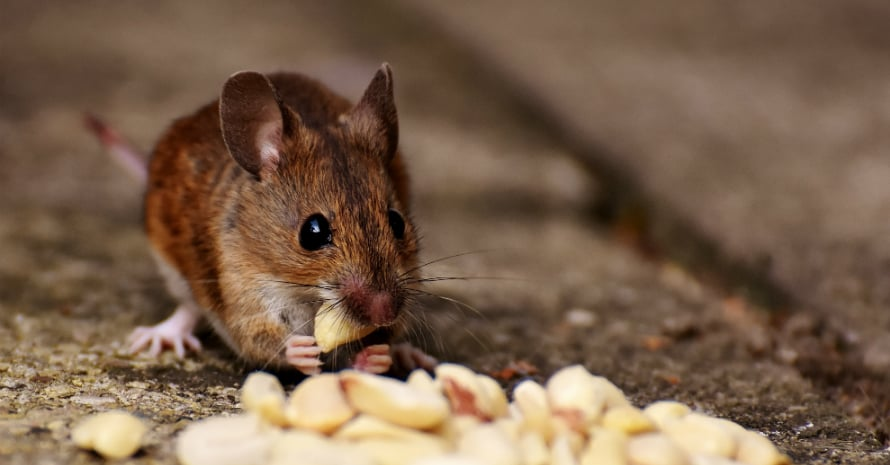 mouse eating nuts
