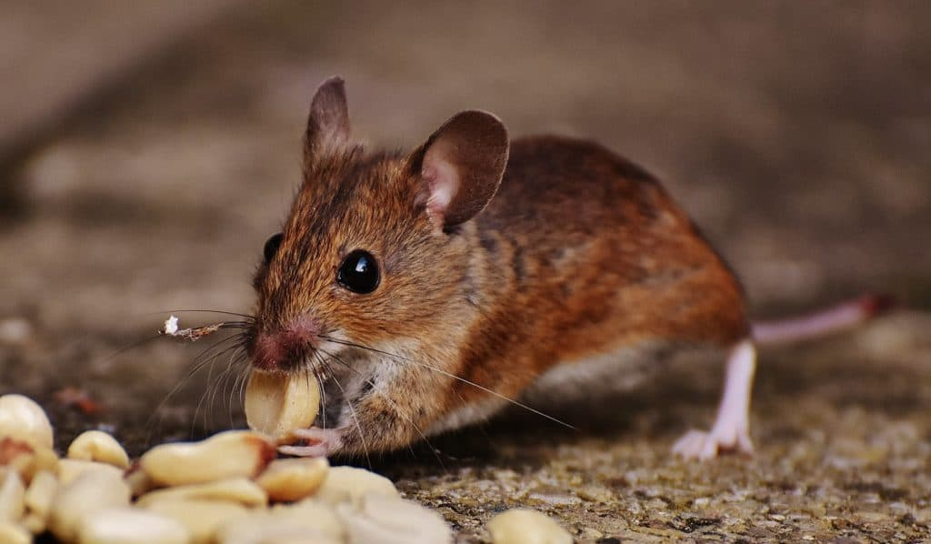 mouse eating snack