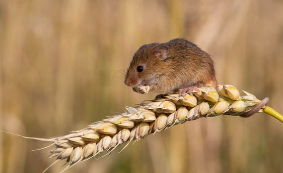 mouse nibbles a spikelet