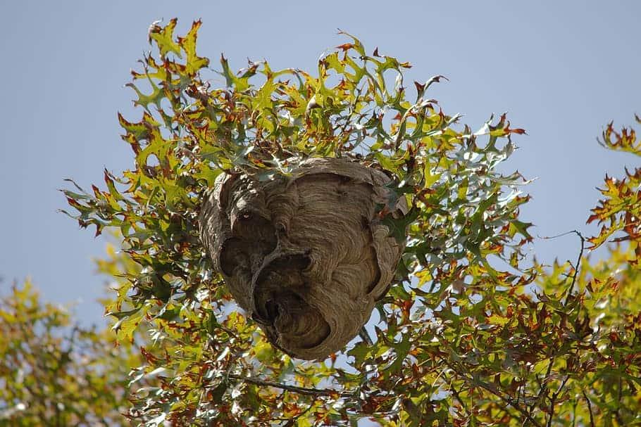 yellow-jacket-nest