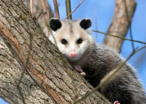 opossum-on-the-branch