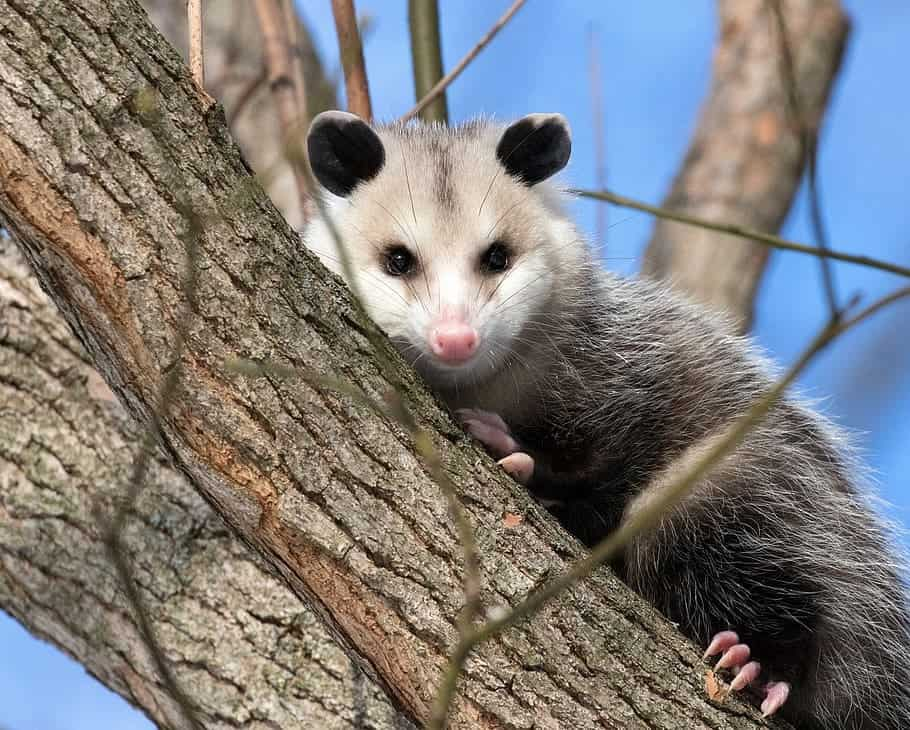 Possum in the wild