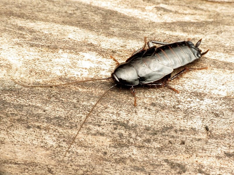 oriental cockroach walking on a wood surface