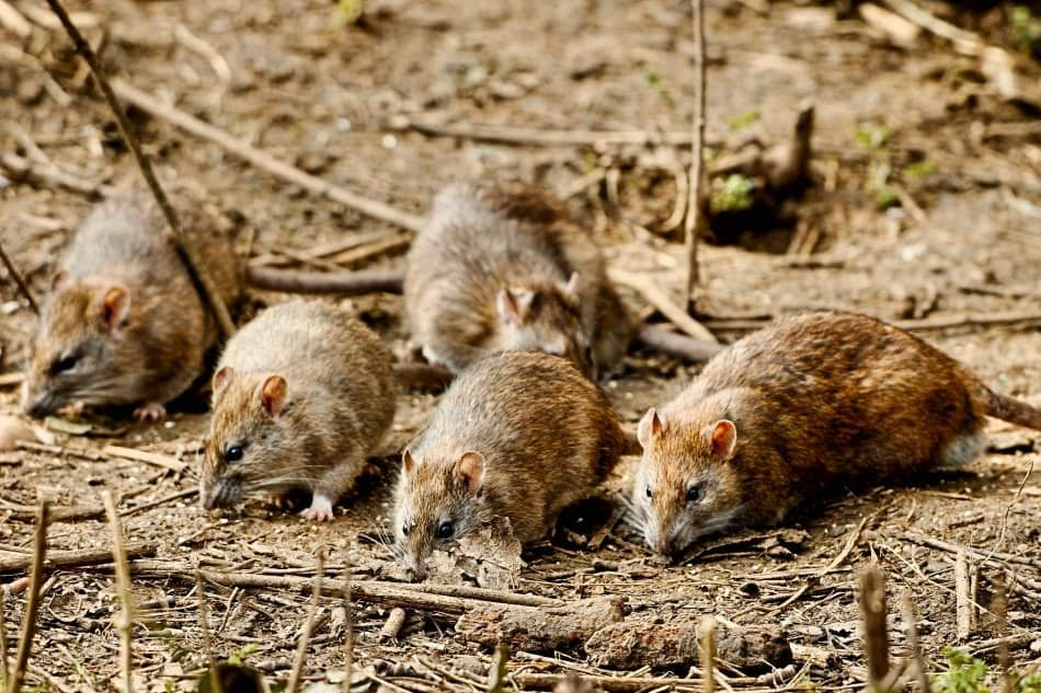 a pack of rats