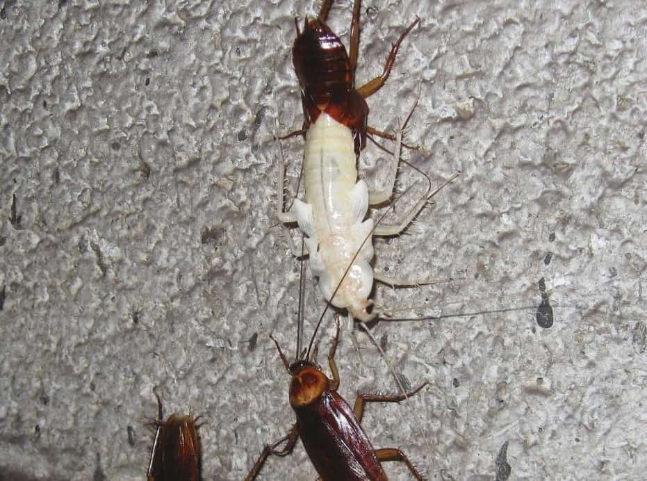 palmetto bug nymph turns into an adult roach