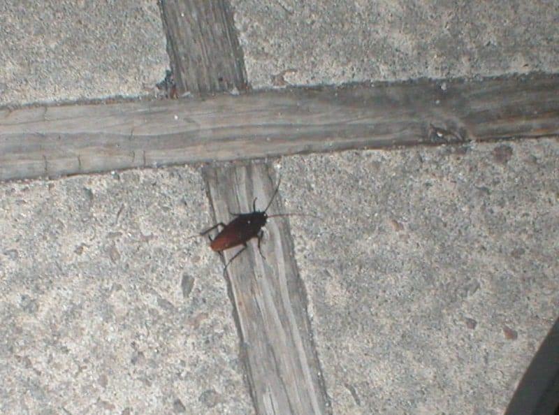palmetto bug walking on a wall