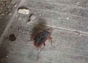 palmetto bug walking on a wooden floor