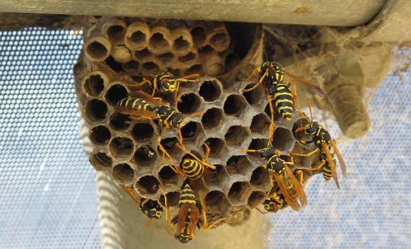 paper-wasps-nest