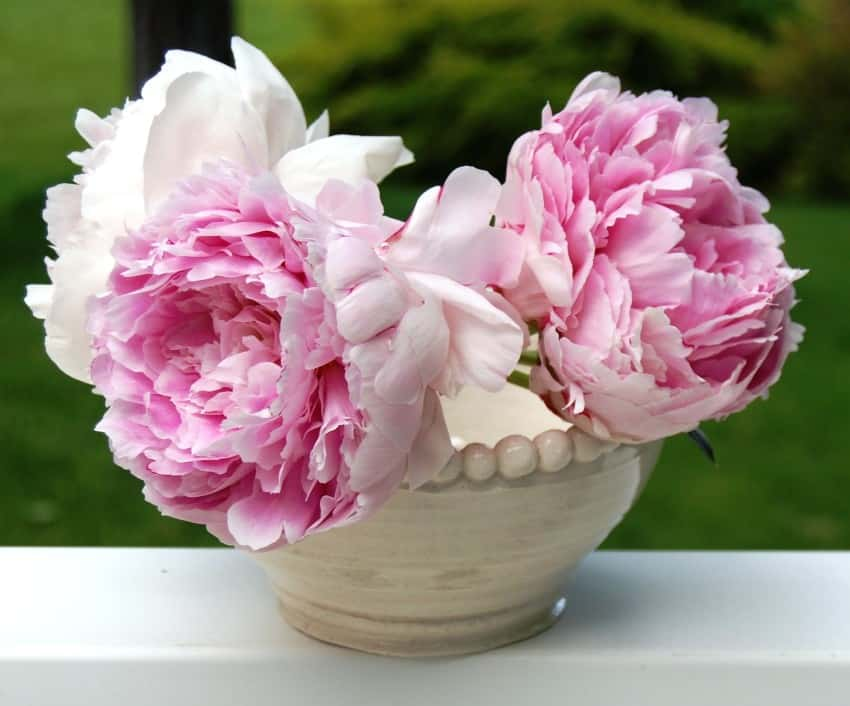 peony flowers in a pot