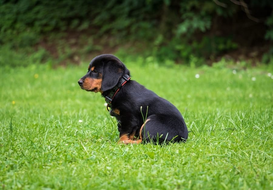 black rottweiler puppy sitting in the grass
