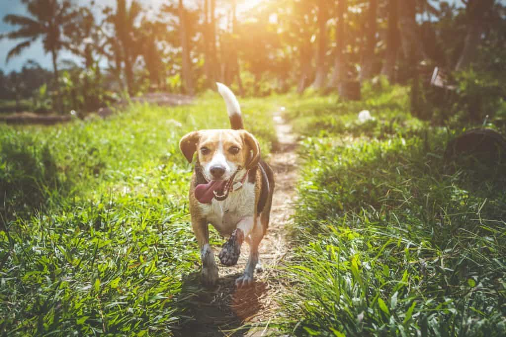 Beagle dog running in the park