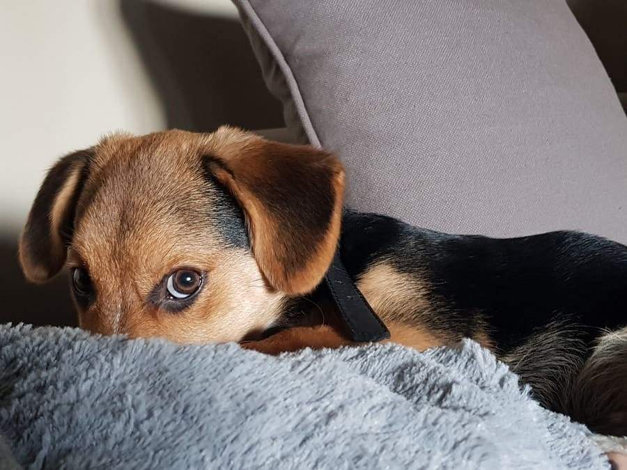 puppy on the sofa hiding his nose