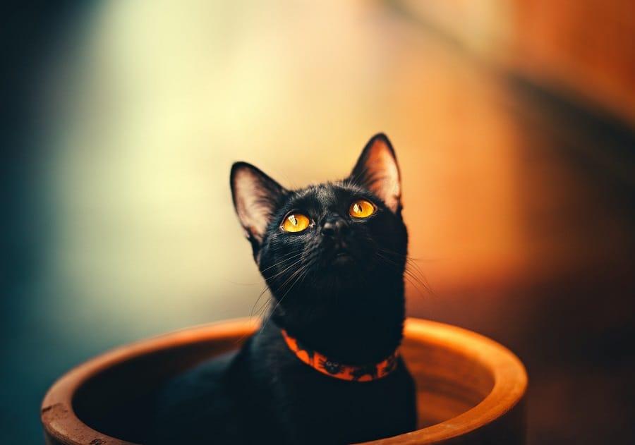 black cat in the orange collar