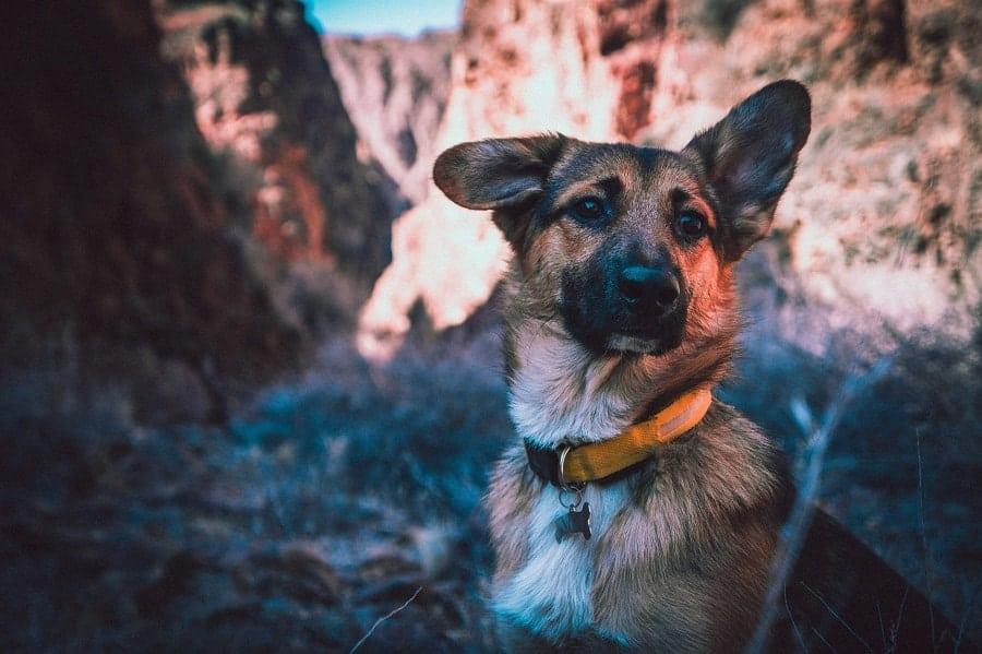 german shepherd in the canyon
