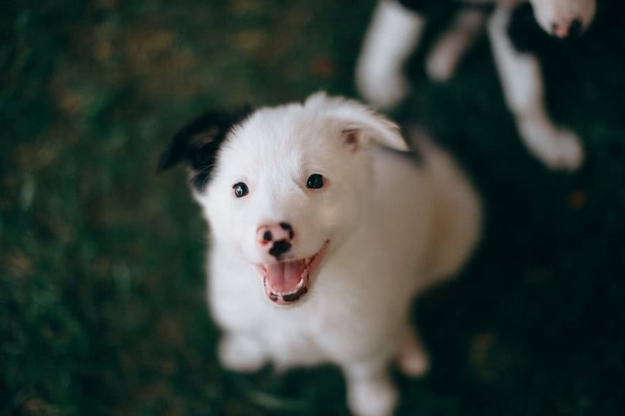 white puppy with black ear
