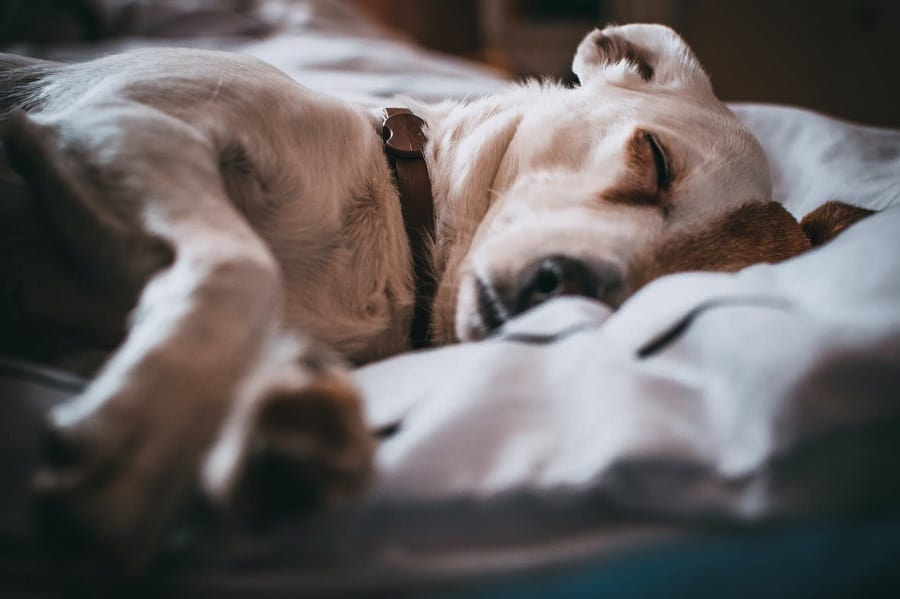 dog in the brown collar sleeps in the bed