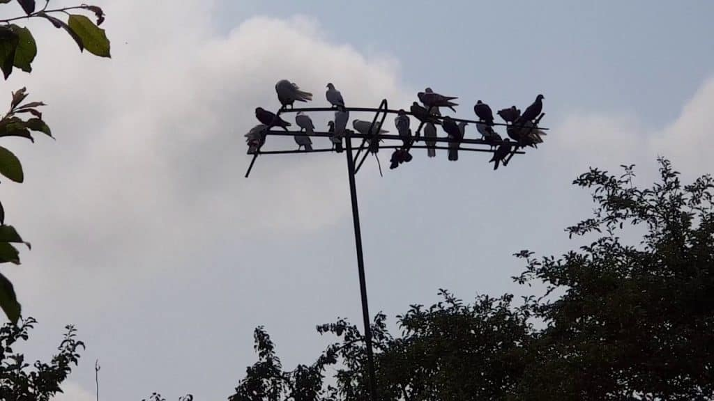 pigeons on the antenna