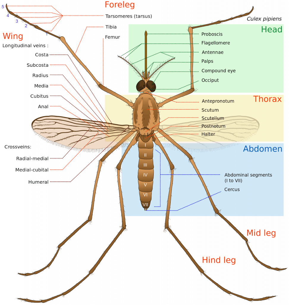 and as for a giant mosquito found in china, its life cycle even shorter   though its body is 10 times longer than an average mosquito, a giant  mosquito lives