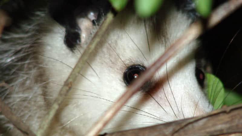 playing-possum-at-night