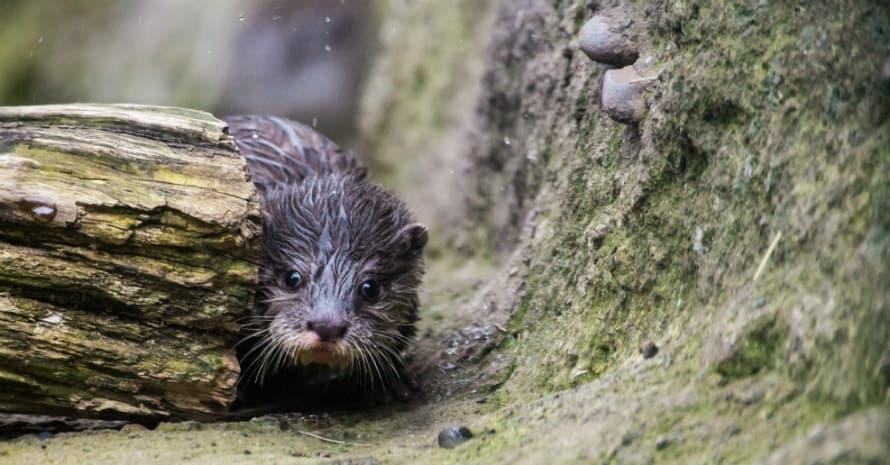 porcupine behind a log