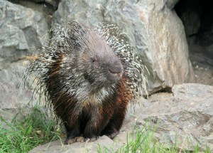 porcupine leaving the cave