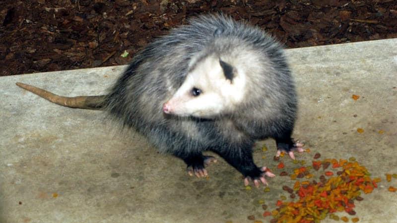possum-eat-cats-food