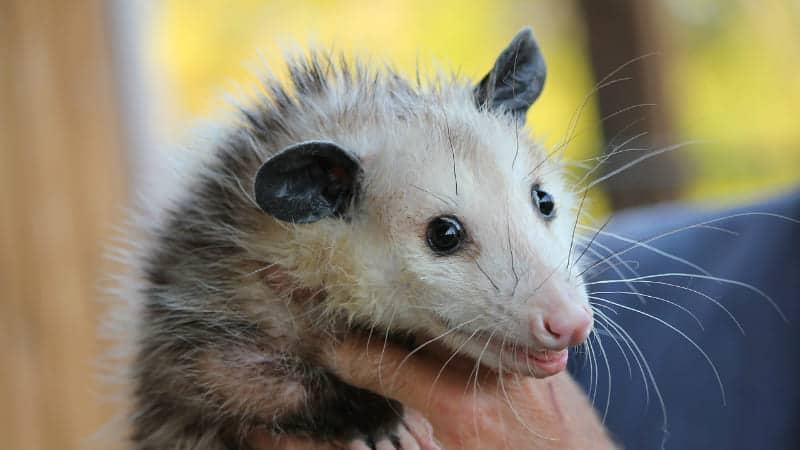 possum-on-hands