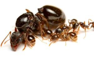 ANTS HOUSE INVASION: HOW TO GET RID OF SUGAR ANTS - Pest Control