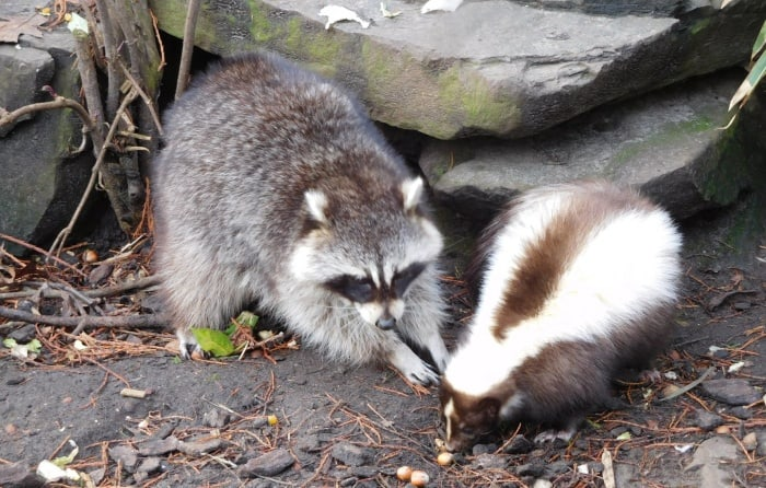raccoon at the left side, skunk at the right