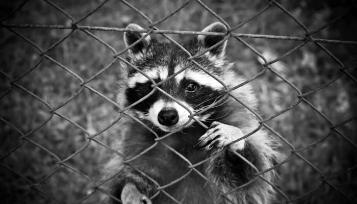 raccoon behind the net