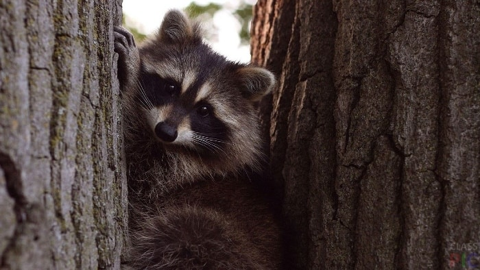 raccoon between trees