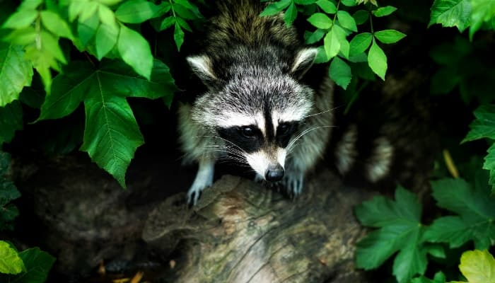 raccoon climbs out of the bushes