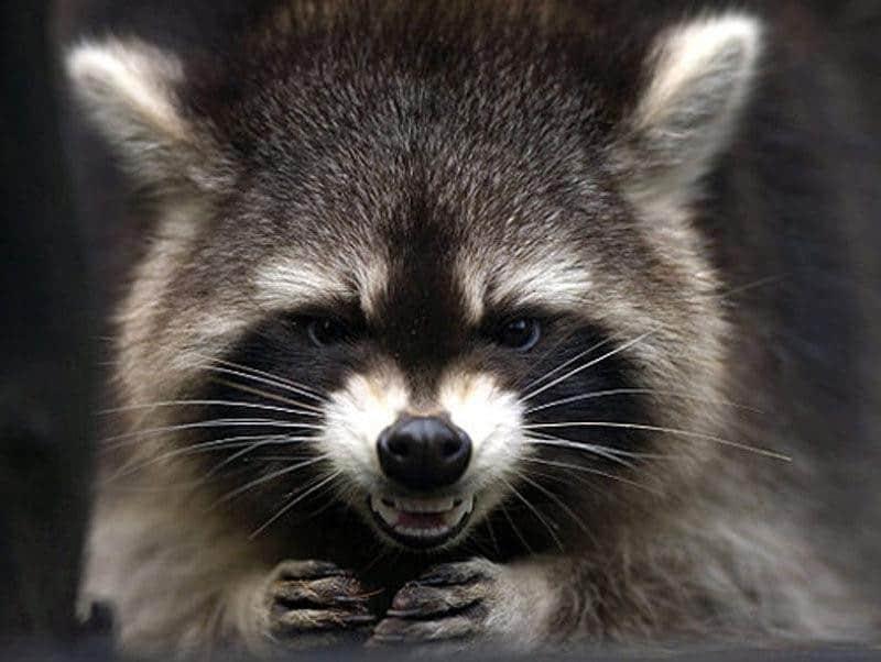 raccoon grin