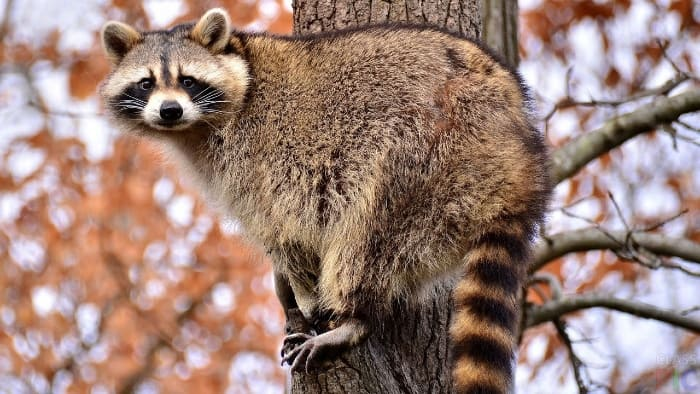 raccoon on a branch