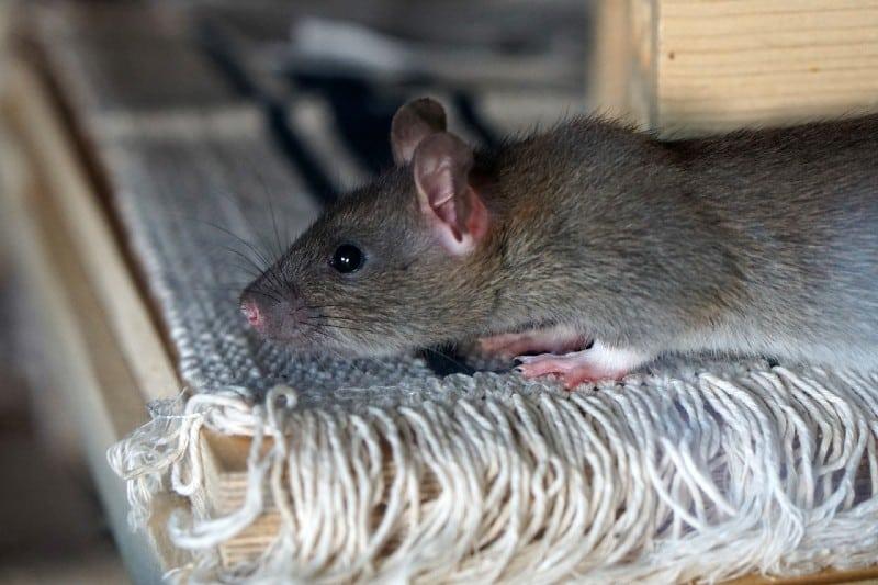 rat-at-home
