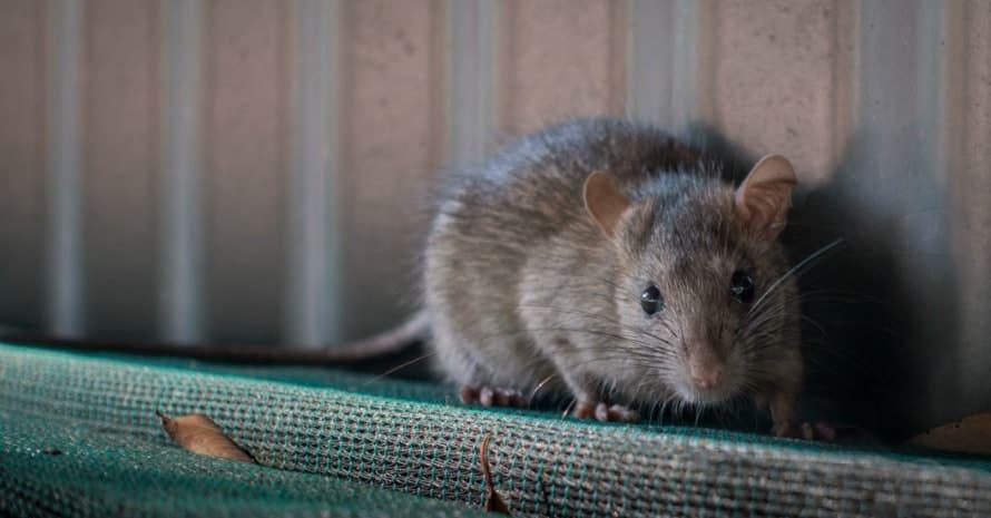 rat near the fence