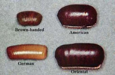 different roach eggs