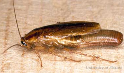 german roach laying an egg