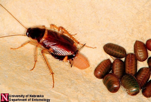 roach laying eggs