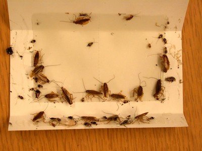 roaches cought on a sticky trap