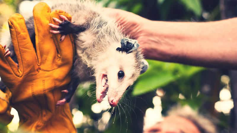 scared-possum-on-the-branch