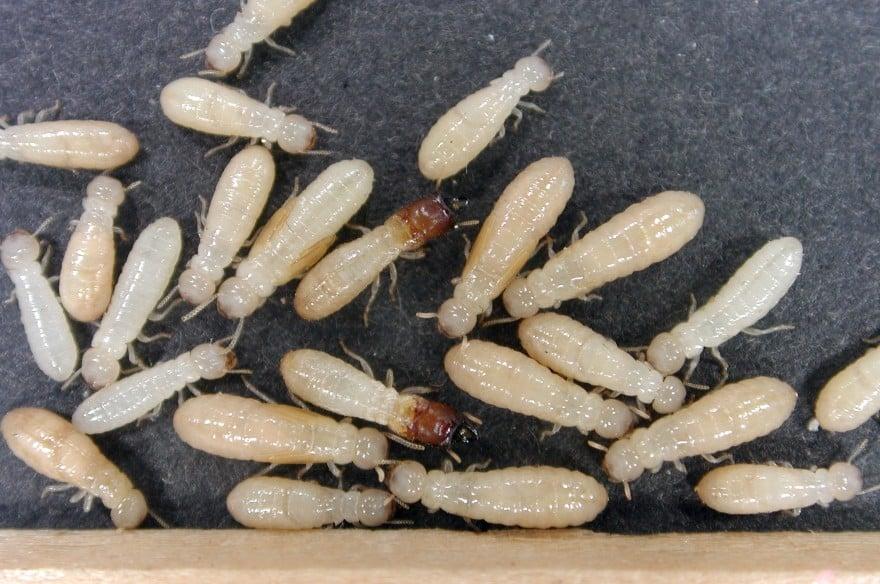 secundus-termites