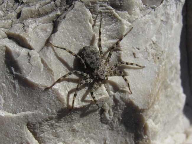 selenops-actophilus-spider