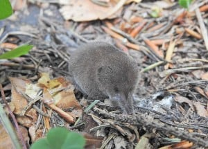 gray shrew in autumn forest