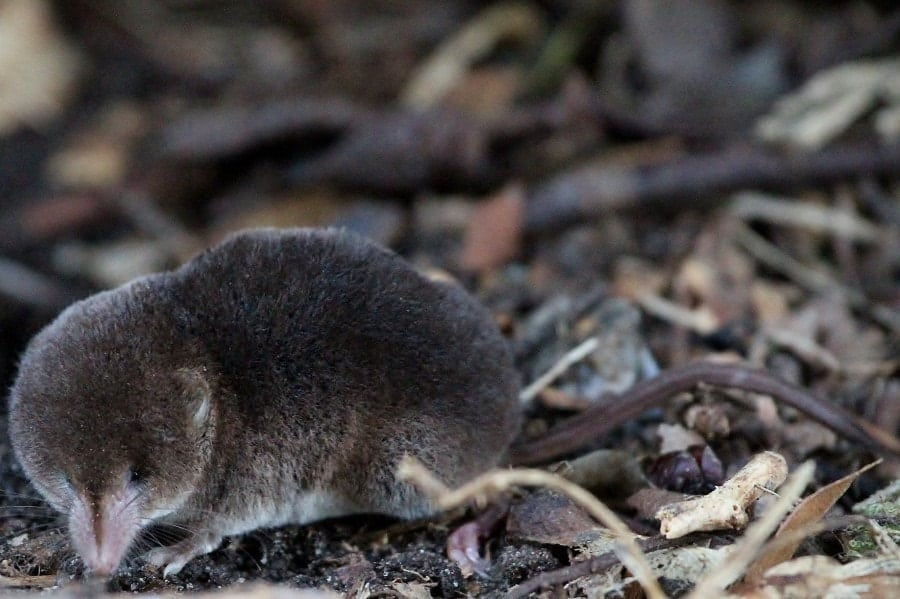 shrew in a forest close view
