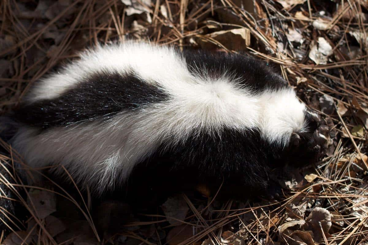 skunk in a forest