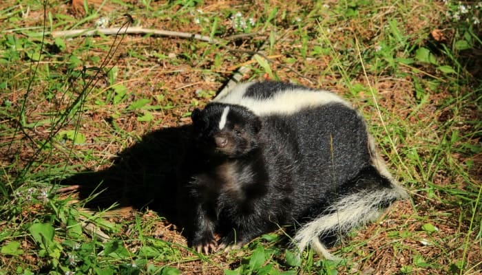 skunk in the field