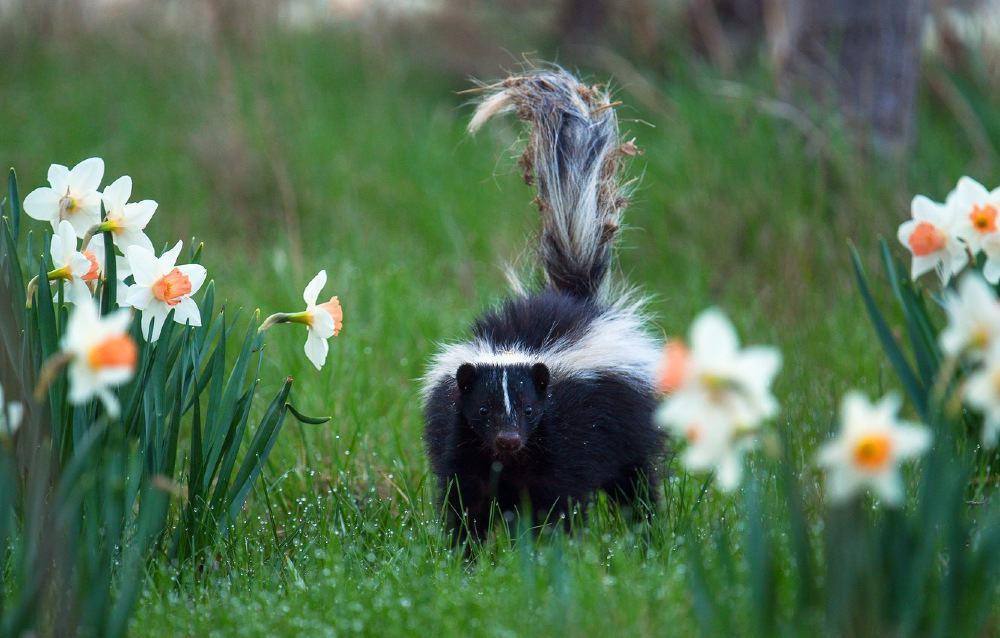 skunk in the garden