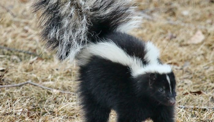 skunk lifted tail