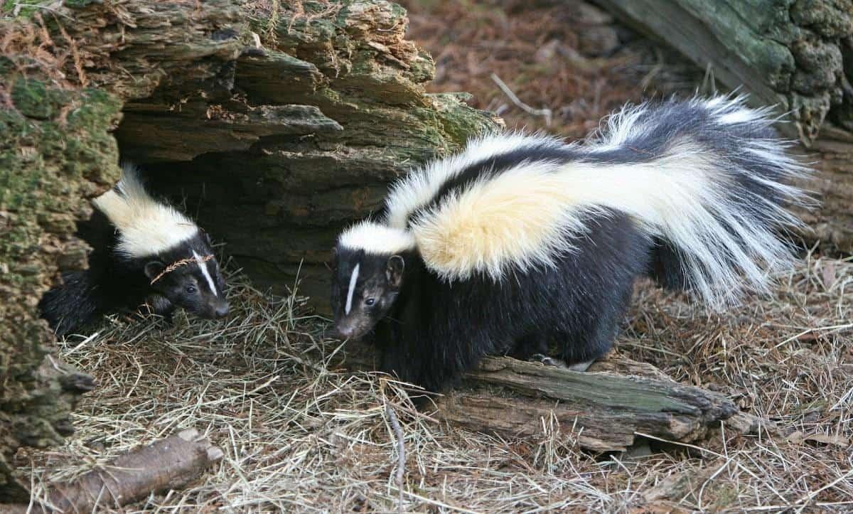 skunk near a hole